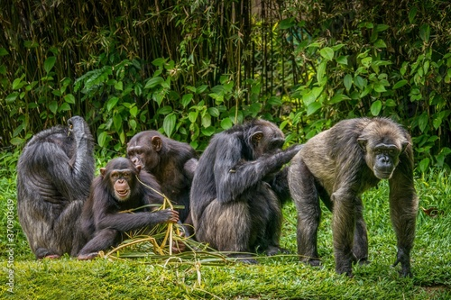 Slika na platnu Interesting animal behavior, with focus on the adult male chimpanzee on right having his buttocks groomed