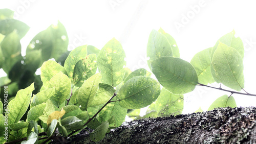 Fotografie, Obraz The branch of bird-cherry tree Prunus padus isolated on a white background