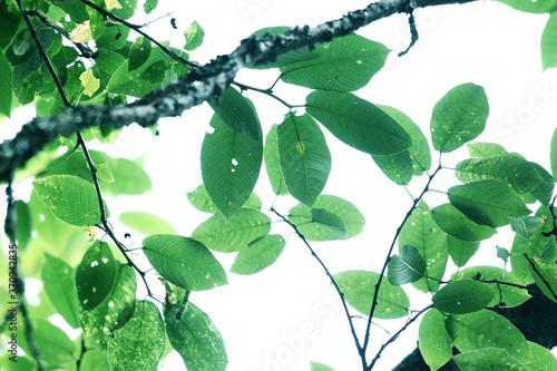 Fototapeta The branch of bird-cherry tree Prunus padus isolated on a white background