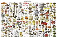 Big Mushroom Collage With All Different Mushrooms. Autumn Mushrooms View. Mushroom Collection Hand Drawn Illustrations. / Antique Engraved Illustration From Adolphe Millot. Without Text For Wallpaper.