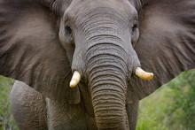 African Bush Elephant  Or Afri...