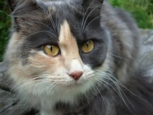 Domestic Cat With White Wisker...