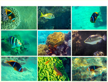 Collage Of Tropical Fishes Inh...