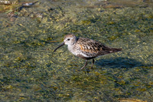 The Dunlin (Calidris Alpina) Catching Worms In The Water