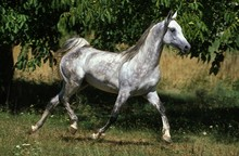 Arabian Horse, Adult Trotting ...