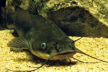 Brown Bullhead, Ictalurus Nebulosus, Catfish