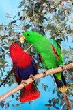 Fototapeta Zwierzęta - Eclectus Parrot, eclectus roratus, Male with Female standing on Branch