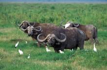 African Buffalo, Syncerus Caffer, Herd With Cattle Egrets, Bubulcus Ibis, Masai Mara Park In Kenya