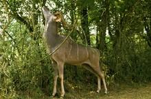 Greater Kudu, Tragelaphus Strepsiceros, Male Eating Branch In Bush, Kenya