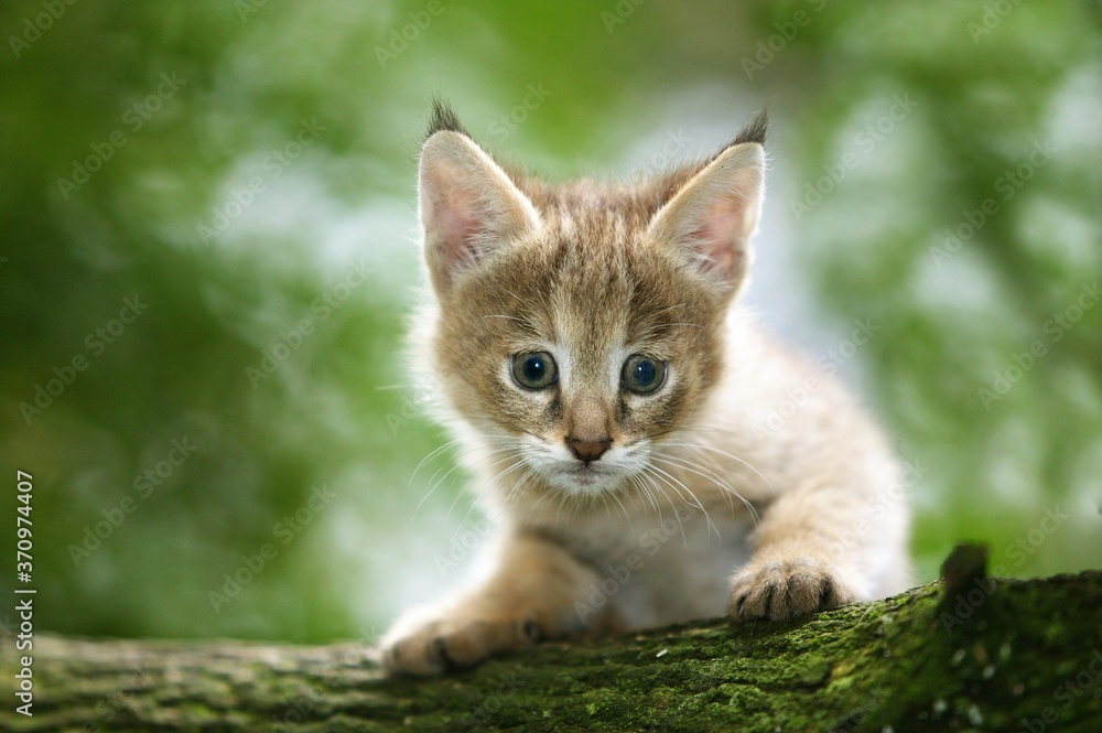 Fototapeta Jungle Cat, felis chaus, Cub laying on Branch