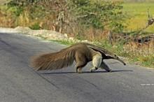 Giant Anteater, Myrmecophaga Tridactyla, Adult Crossing Road, Los Lianos In Venezuela
