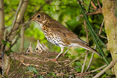 Fototapeta Song Thrush, turdus philomelos, Adult with Chicks at Nest, Normandy obraz