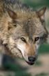 European Wolf, canis lupus, Portrait of Adult