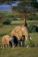 African Elephant, Loxodonta Africana, Mother With Calf, Masai Mara Park In Kenya