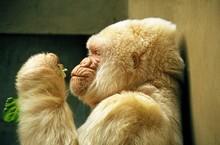 White Gorilla, Gorilla Gorilla, Male At Barcelona Zoo Called Snowflake Or Copito De Nieve