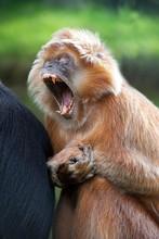 Javan Langur Or Javan Lutung, Trachypithecus Auratus, Adult Yawning