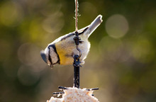 An Eurasian Blue Tit Feeding O...