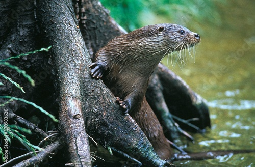 European Otter, lutra lutra, Adult standing in River Fototapete
