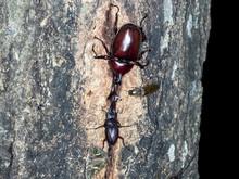 樹液を吸うカブトムシ...
