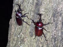 夜間に樹液を求めて木を登るカブトムシ