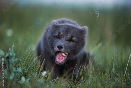 Arctic Fox eating on Iceland Wallpaper Mural