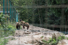 Rehabilitation Of Bears, Sad Bear In An Animal Cage. Wild Bear Walking