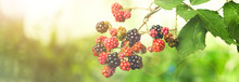 Branch With Ripening Blackberries On Blurred Background, Closeup. Banner Design