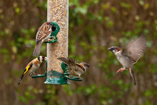 European Goldfinch And House Sparrow Sitting On A Silo Bird Feeder Filled With Mixed Seeds