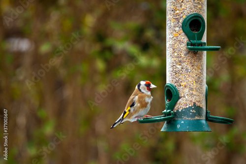 European goldfinch (Carduelis carduelis) sitting on a silo bird feeder filled with mixed seeds Canvas-taulu