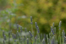 Many Sprigs Of Wild Lavender In A Warm Summer Field