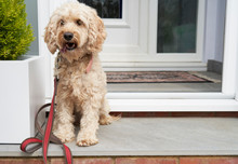 Cockapoo Dog Sitting In Door Porch Waiting To Be Taken For Walk
