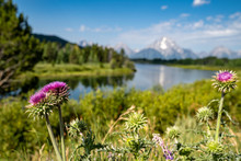 Nodding Thistle, An Invasive Weed, Grows In Grand Teton National Park. Taken At Oxbow Bend
