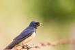 Jaskółka dymówka Hirundo rustica siedzi spokojnie na drucie kolczastym, w dziobie trzyma owada