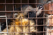 Raccoon Dog In Cage