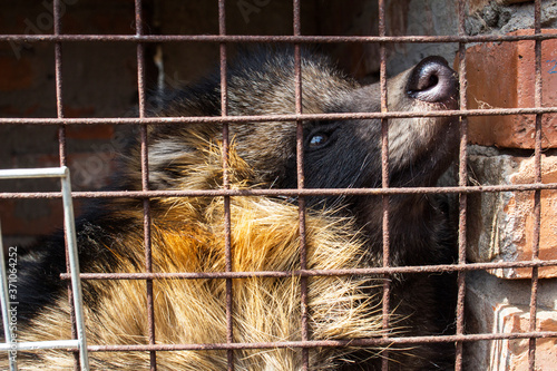Raccoon dog in cage Canvas Print