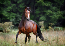 Beautiful Bay Horse Rearing Up In Spring Green Field