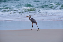 Great Blue Heron On Prowl For Prey.  East Florida Coast.
