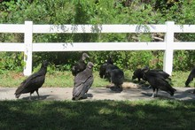 Black Vultures Eating Carrion In Florida