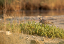 Curlews Are Long Slender Down Curved Bills Bird
