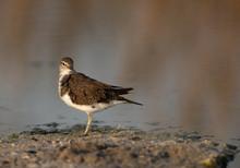 Common Sandpiper Is A Small Shorebird