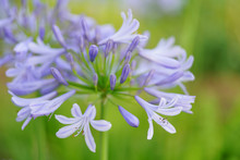 African Lily Agapanthus Flower