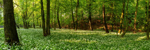 Forest Scene With Flowering Ra...