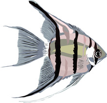 Vector Of Angel Fish On White ...