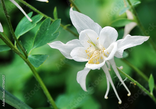 Aquilegia Flowers Canvas Print