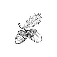 Vector Oak Leaf And Acorn Draw...