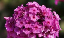 Flowers Garden Phlox