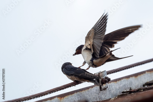 Leinwand Poster Adult swallow (Hirundo rustica) feeds a young fledgling swallow on roof