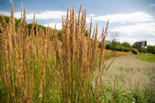 Horizontal View Of Ornamental Grass, Feather Reed Grass On A Sunny Day.