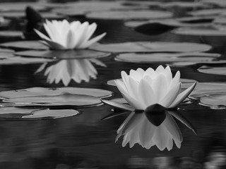 Fototapeta Ogrody black and white lotus on water in the pond with reflection