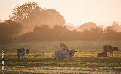 Fototapeta Dairy cows grazing in a grass meadow during misty sunrise morning in rural Irela